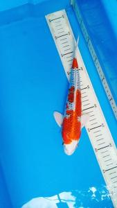 629-Dita koi-bolang-bandung-kujaku-30cm