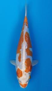 147-alvi grankoi-dkc-kediri-hikarimoyomono-23cm-male