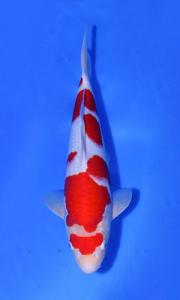 087-Agustiono Kusumadi-Kudus-Twin Koi-Garut-Kohaku-42 cm