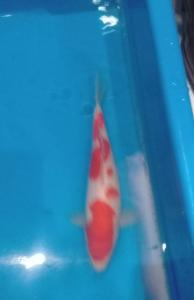 516-Rumah koi palembang-mahesa tirta koi- kohaku 25cm
