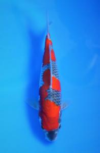 593-KKC-Kediri-Banyu biru-kediri-Ghosiki-28cm
