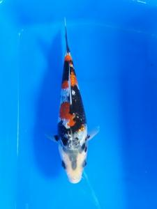 113-PLANET KOI - KEDIRI-PLANET KOI - KINGINRIN. A. 15CM