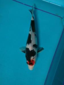039-Figha koi - magetan city -tobel koi-blitar- tancho -28cm-male